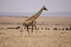 Giraffe que funciona no Masai Mara Foto de Stock Royalty Free