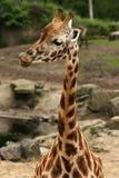 Giraffe que lambe seus bordos imagens de stock royalty free