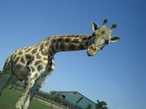 Giraffe que olha para baixo Imagens de Stock