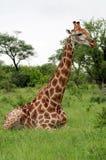 Giraffe que senta-se no arbusto Fotografia de Stock Royalty Free