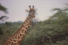 giraffe quizzical Стоковое фото RF