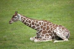Giraffe réticulée Images libres de droits