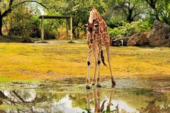 Giraffe After the Rain Royalty Free Stock Photo
