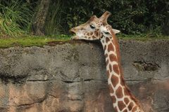 Giraffe reaches above wall to feed. Giraffe is reaching above the wall to feed extending the neck Royalty Free Stock Image