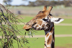 Giraffe reaching high to eat leaves Royalty Free Stock Images