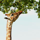 Giraffe reaching high up to the trees Stock Photo