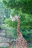 Giraffe reaching for leaves Stock Photography