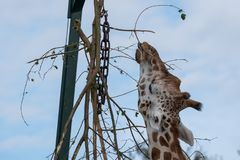 Giraffe, reaching up and eating leaves from a tall tree at Port Lympne Safari Park, Kent UK. Giraffe, reaching up and eating leaves from a tall tree at Port stock images