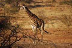 Giraffe with Red-billed Oxpeckers Royalty Free Stock Images