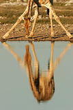 Giraffe reflection, Etosha National Park, Namibia. Reflection of a giraffe (Giraffa camelopardalis) in water, Etosha National Park, Namibia, southern Africa Stock Photos