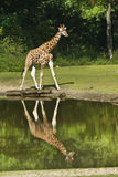 Giraffe with reflection in water. Giraffe on sunny day walking, with reflection in water Royalty Free Stock Images