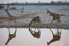 Giraffe reflections at a waterhole royalty free stock photography