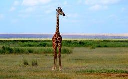 Giraffe regardant dans la savane Photographie stock