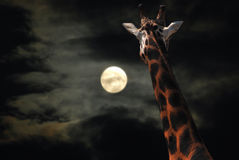 Giraffe regardant fixement la lune Photo libre de droits
