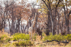 Giraffe in reserve of Botswana Royalty Free Stock Image
