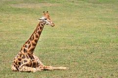 Giraffe resting in the grass Stock Photo