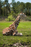 Giraffe resting on a grass Royalty Free Stock Images