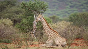 Giraffe resting. Young giraffe (Giraffa camelopardalis) resting on the ground, Mokala National Park, South Africa stock footage