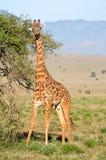 Giraffe restores itself in the branches stock photos