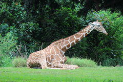 Giraffe. Rests on green grass at Zoo Royalty Free Stock Photography