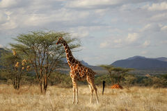 giraffe reticulate Images stock