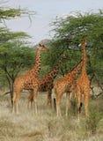 Giraffe Reticulate Imagem de Stock Royalty Free