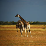 giraffe reticulated πιό ψηλοί κόσμοι θηλασ Στοκ Εικόνα