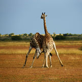 giraffe reticulated πιό ψηλοί κόσμοι θηλασ Στοκ φωτογραφίες με δικαίωμα ελεύθερης χρήσης