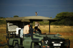 giraffe reticulated πιό ψηλοί κόσμοι θηλασ Στοκ Φωτογραφίες