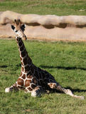 giraffe reticulated Στοκ Εικόνες