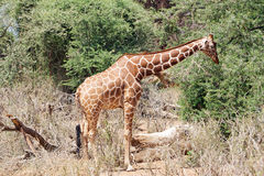Giraffe reticulated Royalty Free Stock Photo