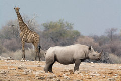 Giraffe and rhino Royalty Free Stock Images