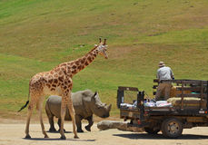 Giraffe, Rhino and trainer. A giraffe at the zoo eating it's food while standing in the african desert sun with a rhino and a zoo keeper feeding the animals Stock Photos
