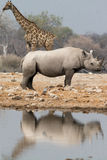 Giraffe and rhino at waterhole Stock Photo