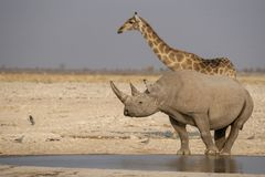 A giraffe and a rhinoceros drinking at a waterhole. stock photography