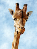 Giraffe riante photo stock