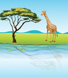 A giraffe beside the river Stock Photo