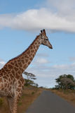 Giraffe on the road. In a national park South Africa Royalty Free Stock Image