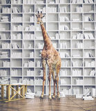 Giraffe in the room Stock Photography