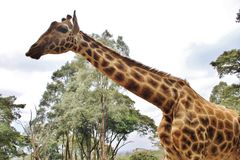 Giraffe Rothschild κινηματογραφήσεων σε πρώτο πλάνο Στοκ φωτογραφία με δικαίωμα ελεύθερης χρήσης