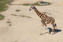 Giraffe Rothschild που περπατά γύρω από τη σκόνη με τη γλώσσα έξω, ήλιος Στοκ Φωτογραφία