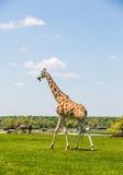 Giraffe Rothschild Стоковые Фотографии RF
