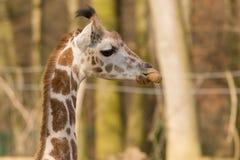 Giraffe Rothschild Стоковое Изображение