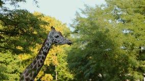 Giraffe Ruminating