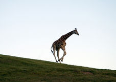 Giraffe Running Fotos de Stock