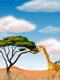 Giraffe running in the field Stock Image