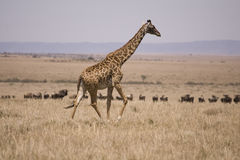 Giraffe running on the Masai Mara Royalty Free Stock Photo