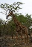 Giraffe running in the savanna Stock Photography