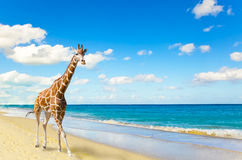 The giraffe runs on sand at seacoast Stock Images