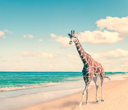 The giraffe runs on sand at seacoast,with  retro effect Royalty Free Stock Images